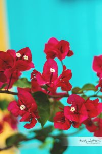 Bougainvillea Flowers in Princess Cays, Bahamas