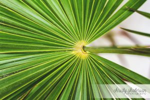 Roatan Green Palm
