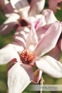 Blooms of a Tulip Tree